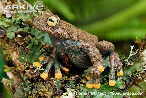 Hyloscirtus lindae #frogs #amphibians #herpetology