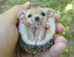 hedgehog - Google Search