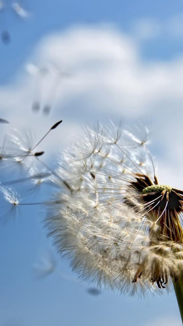 best Dandelions images on Pinterest Dandelions Dandelion