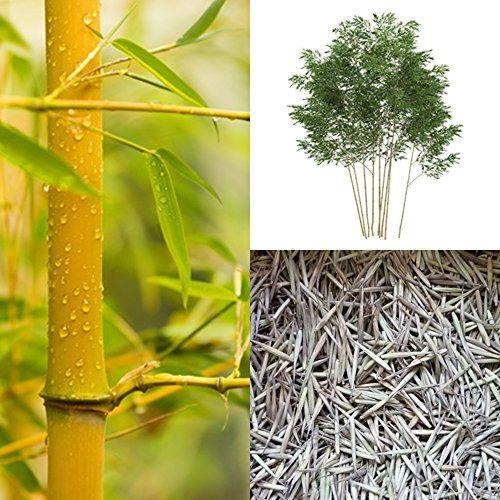 Goldrohrbambus (Bambus Samen) - Phyllostachys aurea - winterhart bis -18 C° (100)