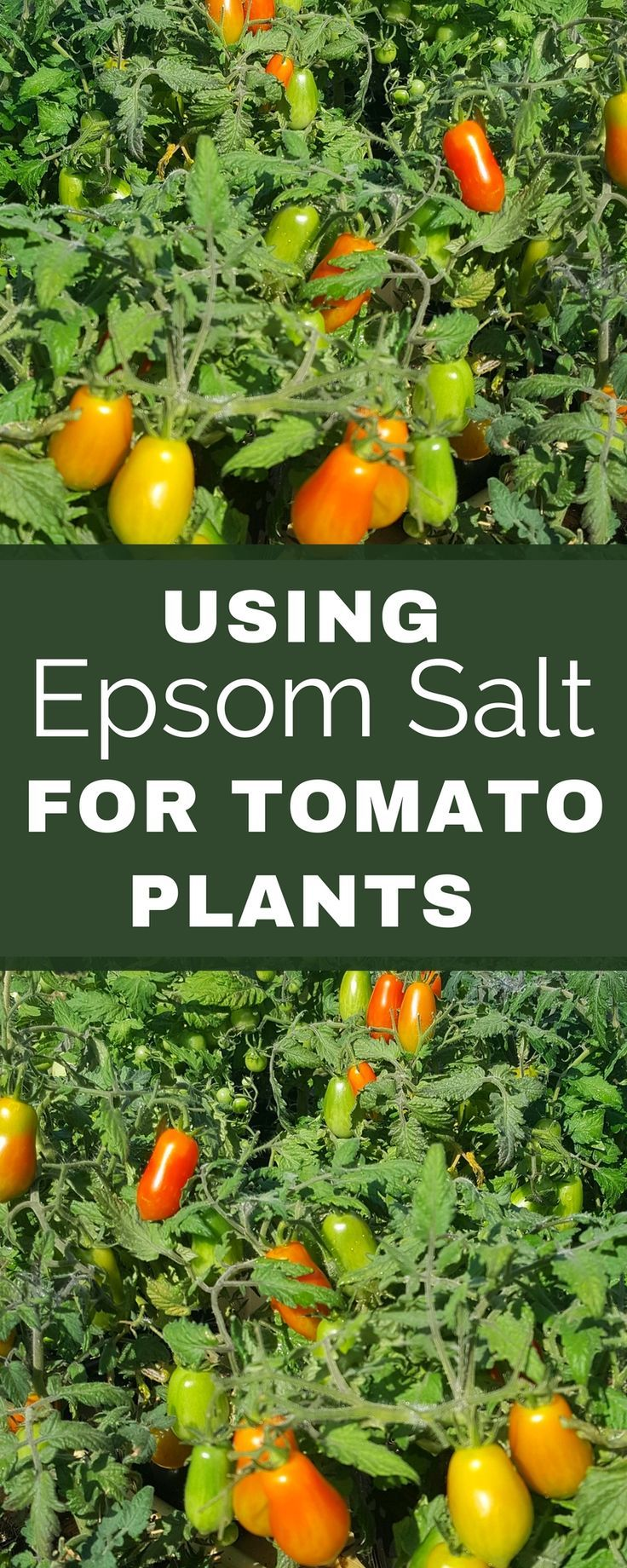 Growing tomatoes. Backyard vegetable garden. Using Epsom salt for tomato plants.