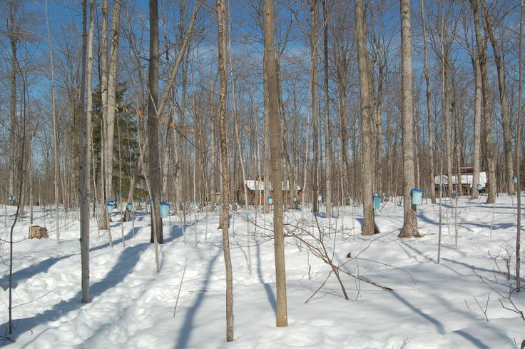 Mountsberg Conservation Areas Glorious Sugar Bush - Maple Syrup Festival March 2014