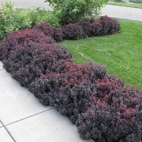 If you're looking for a fast-growing, colorful, & pest-free Hedge Plant , then Concorde Barberry is your answer! This colorful Shrub has long arching branches of bright purple leaves that remain colorful all spring, summer, & fall before turning a vibrant blazing scarlet in autumn . Red berries persist throughout the winter. Japanese Barberry is a thorny shrub with a carefree habit. It forms a low-growing 24 tall hedge which can be sheared to any size & shape. In...