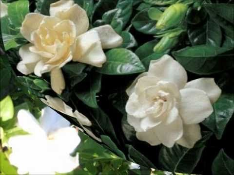 Dos Gardenias, Compay Segundo