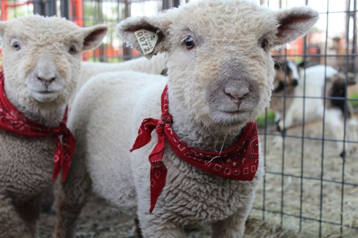 Olde English Babydoll Southdown Sheep! If I knew how to spin I would own a few of these cuties for my knitting and crochet projects.
