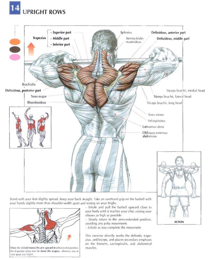 Mejores 17 imágenes de Training Anatomy (Shoulders) en Pinterest ...