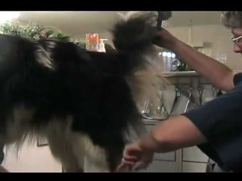 Grooming rough collies instructional video (also works for Shetland sheepdogs).