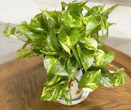 6 Hardy Indoor Plants For Your Home Plants Interior Plants And Plant Design