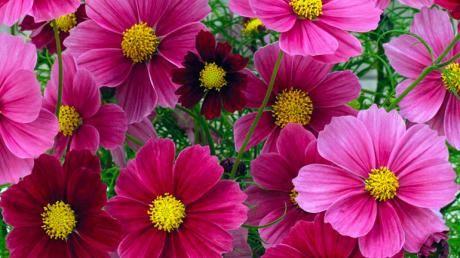 Stolt kavaler 'Antiquity'. Blomsterne skifter farve fra bourgogne ved begyndende udspring til gammalrosa når de er fuldt udsprunget . 60 cm høj. Foto: Marian Haugaard Steffensen.