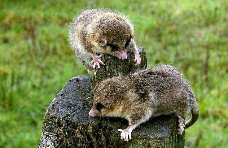 Monitos del monte son marsupiales y son de Chile