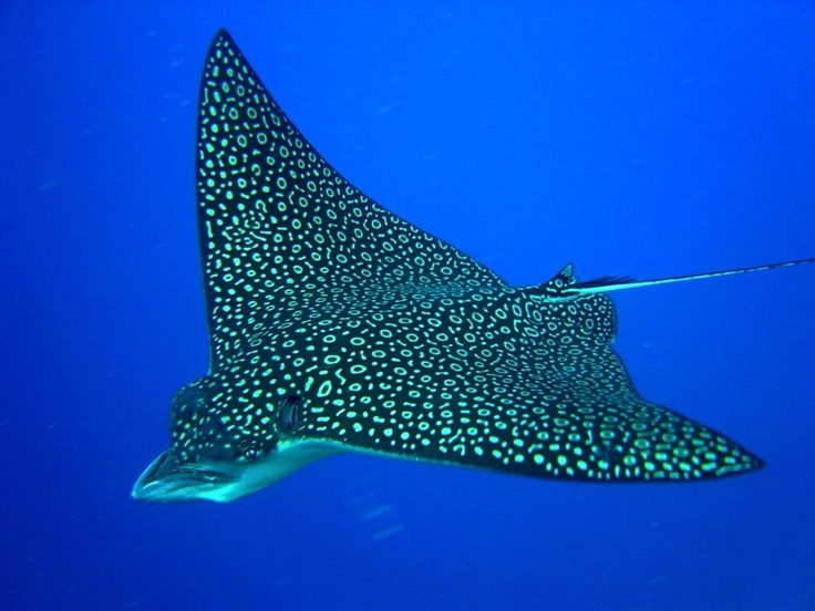 Amazing  pattern on this sting ray; reminds me of encounter with 2 stingrays sailing up and out of water as I pulled up my crab net, off of White Street Pier - Key West, FL est. 1988