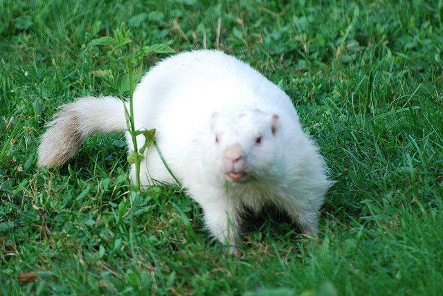 albino groundhog pictures | Albino Groundhog | Flickr - Photo Sharing!