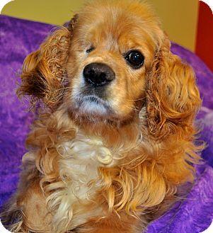 Philadelphia, PA Cocker Spaniel Mix. Meet Claudia a Dog