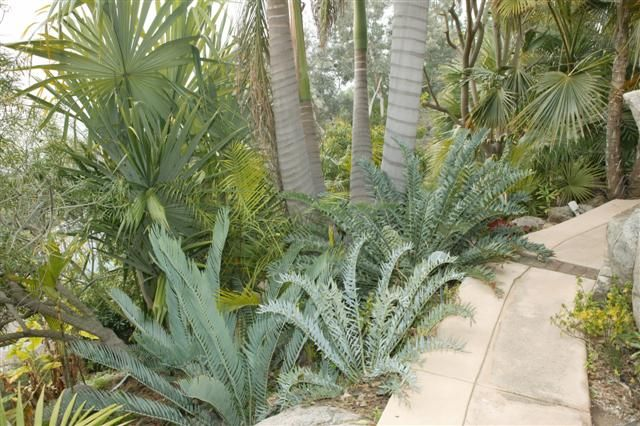 blue cycads at the base of taller palms