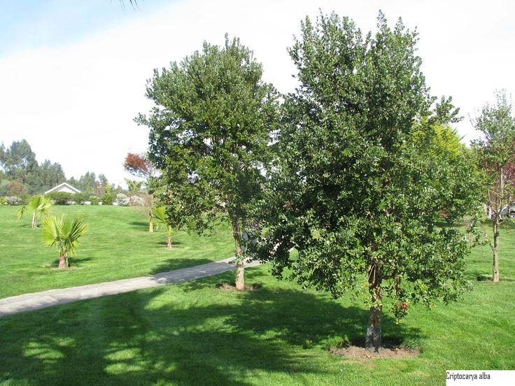 Peumo - Arbol que crece hasta 20 mts, semisombra, resiste heladas y podas, crecimiento rápido, perenne, florece de Noviembre a Enero