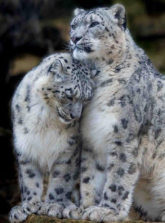 Snow leopards.  The depth in those eyes!  Would love to know what he's thinking.