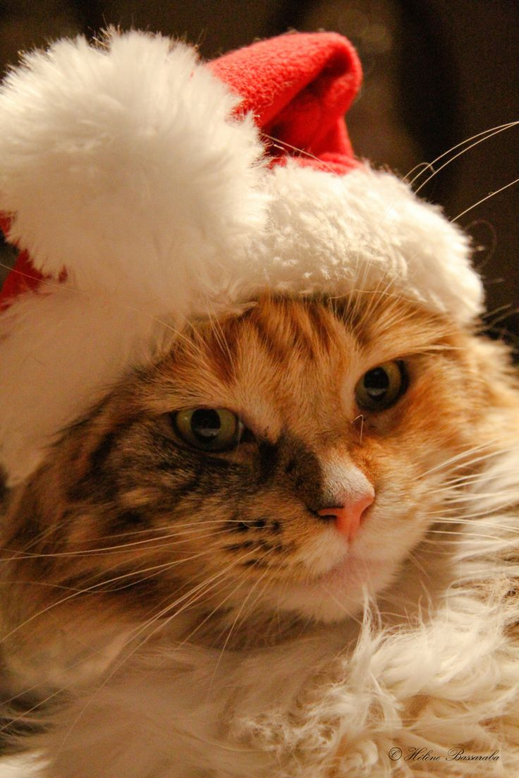 Christmas cat... MERRY CHRISTMAS to all you pinners out there!