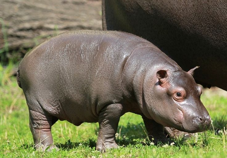 This healthy baby Hippo was born at the Czech Republic's Ostrava Zoo on June 3 --  and it's a boy! He is the nineteenth baby Hippo to be born at the zoo. Learn more today on ZooBorns.com. http://www.zooborns.com/zooborns/2013/07/its-a-boy-baby-hippo-born-at-zoo-ostrava.html