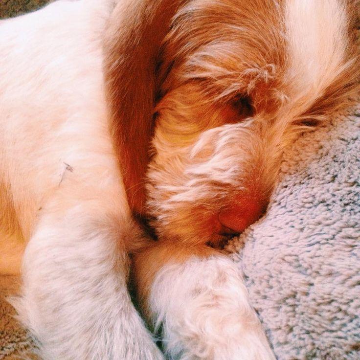 Time to sleep puppylove spinone spinoneitaliano | trendbubbles.nl