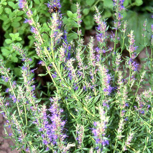 Les 32 meilleures images du tableau hyssopus sur pinterest arbustes feuillage persistant - Arbustes fleurs bleues feuillage persistant ...