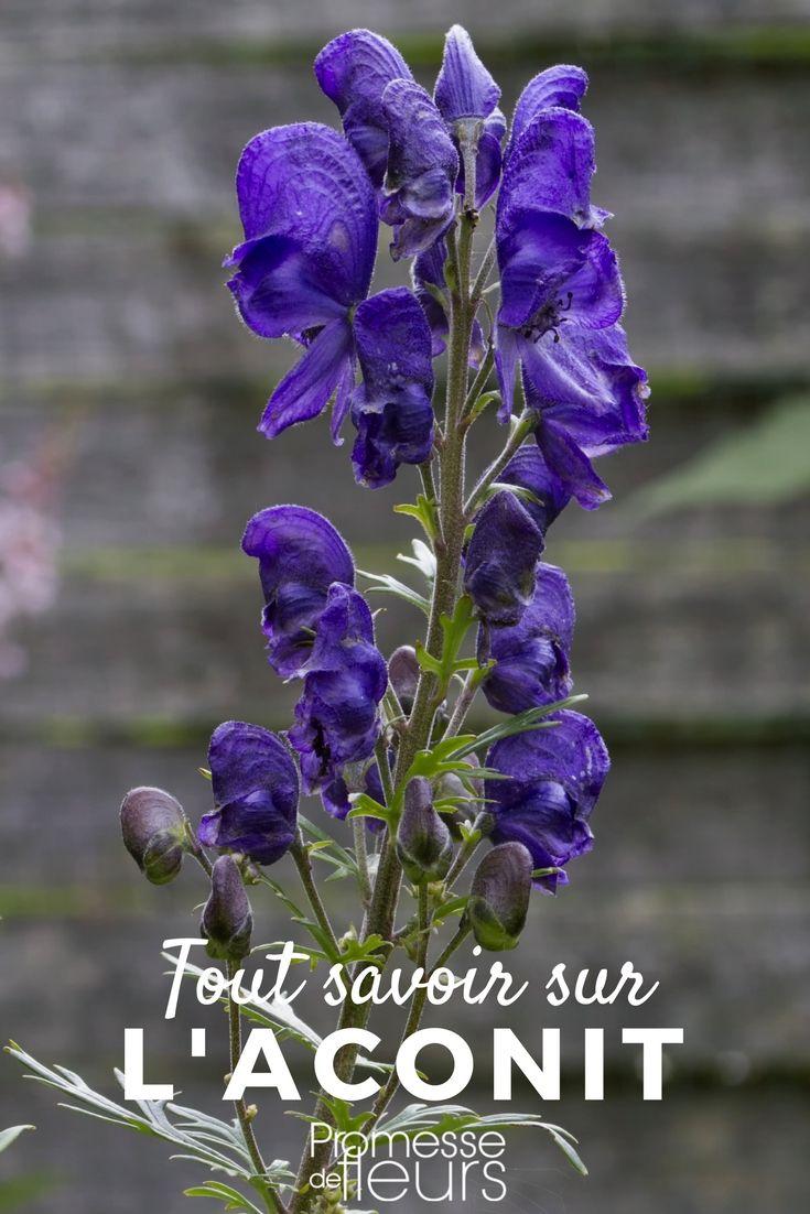 Fleurs Pour Mi Ombre aconit : planter, entretenir, diviser   fleurs automne