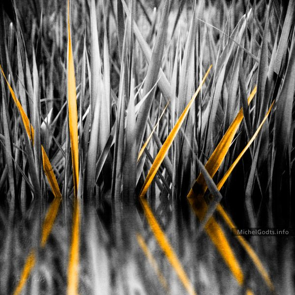 The Golden Sweet Flags :: Organic abstract realism photography. Artwork by photo artist Michel Godts. Wall art print for collector and interior decor in hospitality, hotel, corporate, office, restaurant, home spaces. Calamus, sweet flag, wetland plant, marsh plant, duotone, selective coloring, texture blend, textured, nature.     #AbstractPhotography #Photography #SelectiveColoring #WallDecor #WallArt #ArtWork #OfficeArt #HotelArt #HospitalityArt #CorporateArt