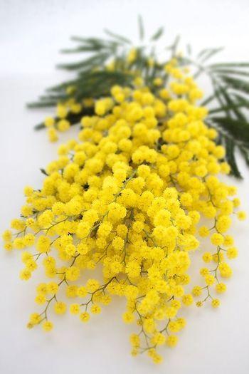 「ミモザ(Mimosa)」は、もともとは「マメ科オジギソウ属」の植物の総称です。  フサアカシア、ギンヨウアカシアなどの黄色い花をつける「マメ科アカシア属」の俗称で、アカシア属の花がオジギソウ属の花と類似したポンポン状の形態であることから誤用され、現在ではこちらが主流になっています。