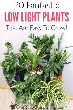 There's no such thing as plantsthat grow in the dark, but there are plenty of plants that can grow indoors with little light. In fact, some of the most popular indoor plants for sale are low maintenance, low light indoor plants. Here is a list of the best indoor plants for low light areas in your home.