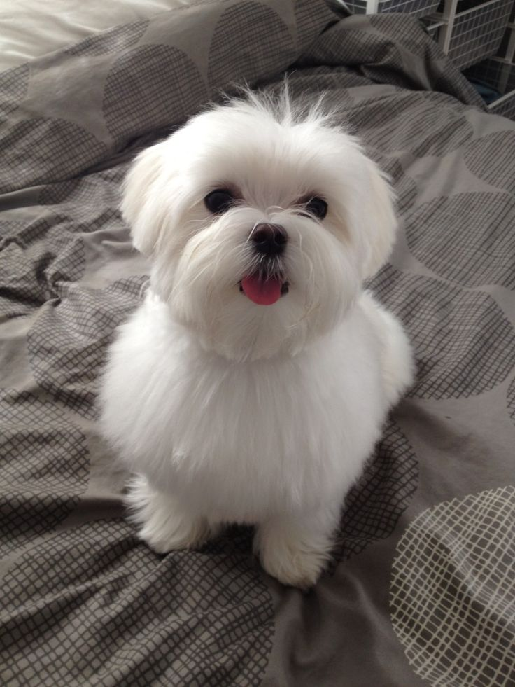 maltese puppy cut pictures 24 best images about maltese and yorkie hairstyles on 1075