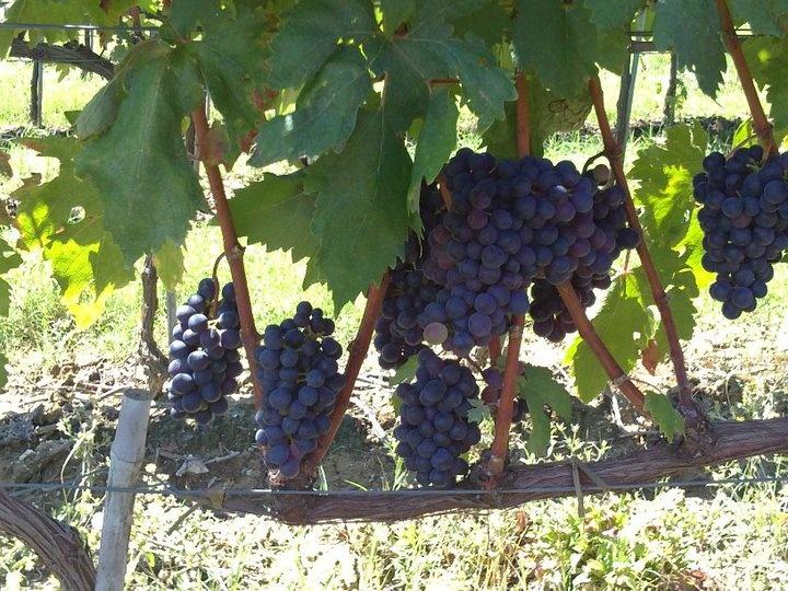 grapes @ fattoria-fibbiano