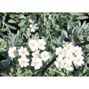 Les 25 meilleures id es de la cat gorie feuilles persistantes sur pinterest jardin - Vivace couvre sol longue floraison ...