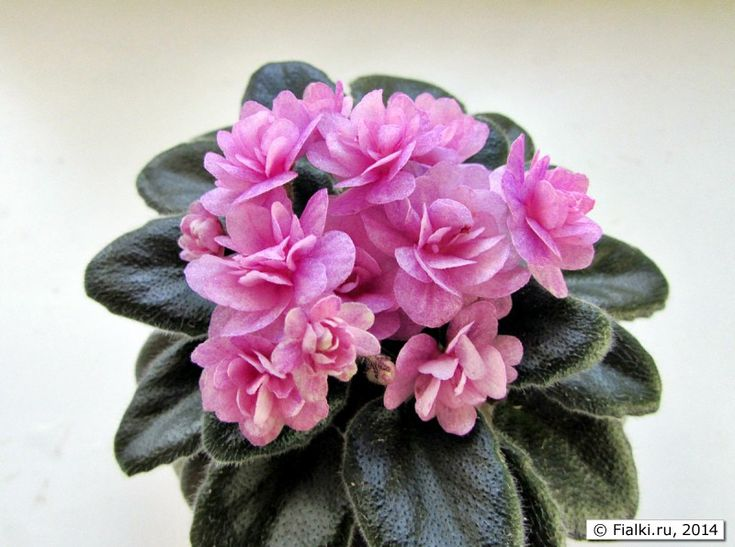 Rob's Twinkly Pink, Robinson, фото Т.Лысиковой: