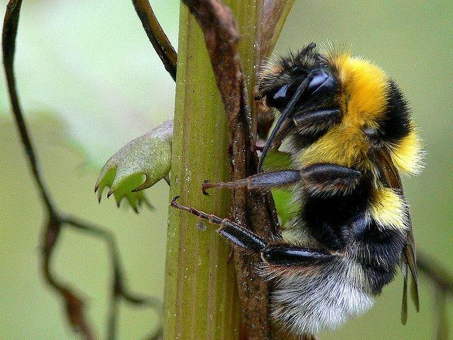 Bombus ruderatus Large Garden Bumblebee