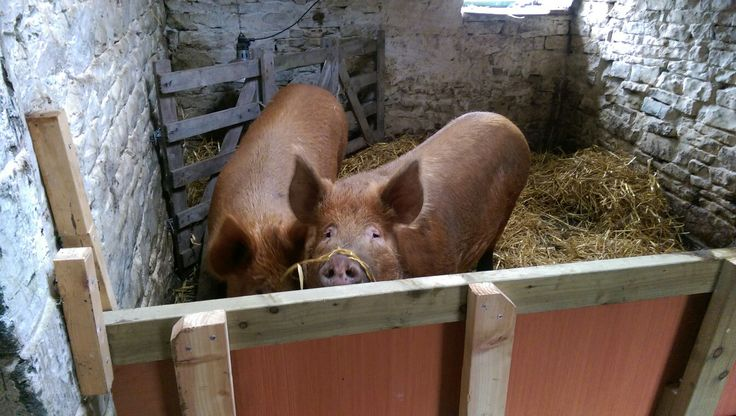 Both sows inside ready for Sissy to farrow next weekend. Esther will move back out to the woods tomorrow once Sissy is properly settled in