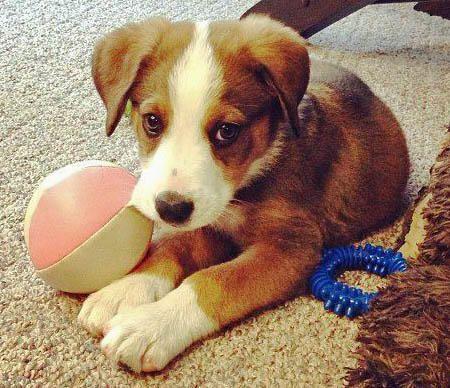 Diesel the Border Collie Mix puppy - cuteness!