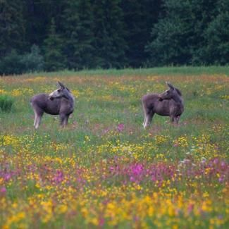 Gausdal, Norway. www.inatur.no/storviltjakt/5106bb37e4b065e5463c9cc3/elgjakt-blasterlia-i-gausdal-statsalmenning | Inatur.no