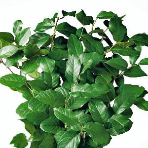 Salal foliage
