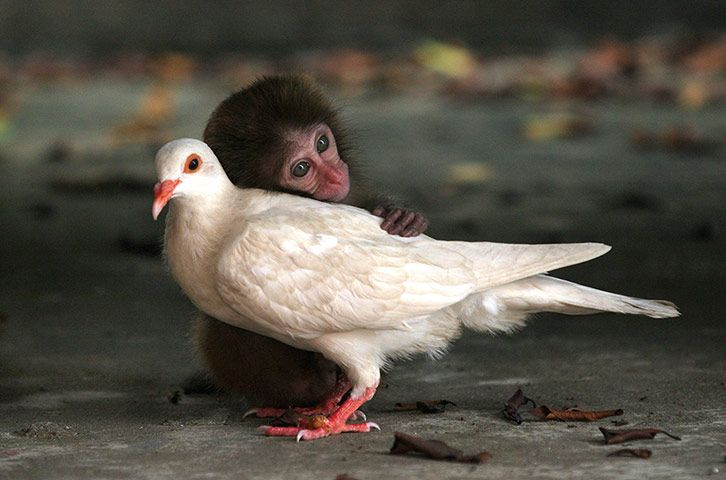 """The macaque and the dove: On an island off the coast of China, a little macaque nestles its head on a dove. Three months before, after the macaque had strayed from its mother, it was found and taken in by the staff of an animal protection centre. It soon became friends with the white dove, which had also been adopted by centre staff. For two months they ate together and slept together, before both were released back into the wild."" -The Guardian"