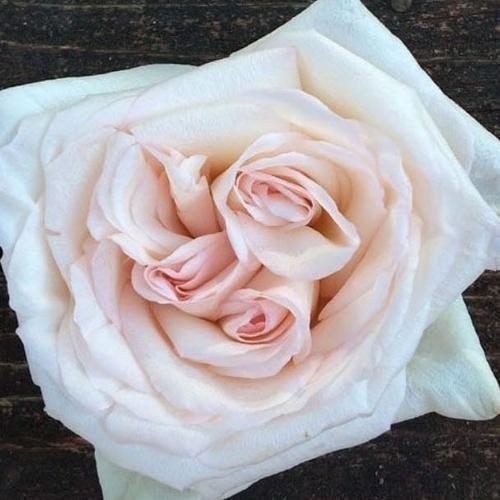 O Hara Garden Rose Rose Varieties O Hara Rose Blush Wedding