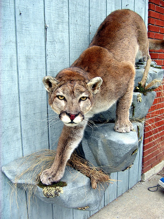 Mountain Lion mount....I want one similar creeping down our stone  fireplace