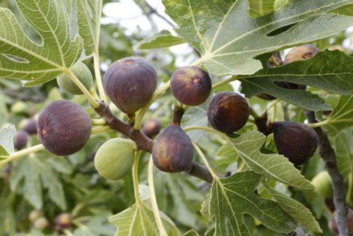 Feigenbaum vermehren – So klappt's per Ableger, Kopfstecklinge und Samen