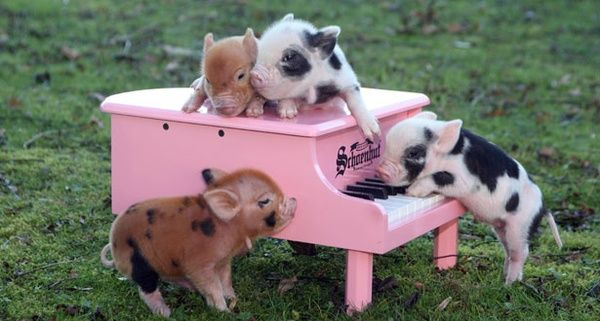 Piggies: The Piano, Teacups Piggy, Baby Pigs, Cute Piglets, Minis Pigs, The Farms, Baby Animal, Pink Piano, Teacups Pigs