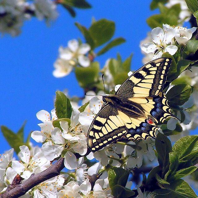 Paź królowej (Papilio machaon) – gatunek owada. Motyl dzienny o żółtym ubarwieniu skrzydeł z czarnymi i niebieskimi wzorami, zamieszkujący całą Europę, Azję i północną Afrykę.