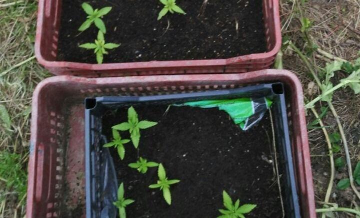 Καλλιεργούσε κάνναβη στο οικόπεδό του στη Δράμα > http://arenafm.gr/?p=258786