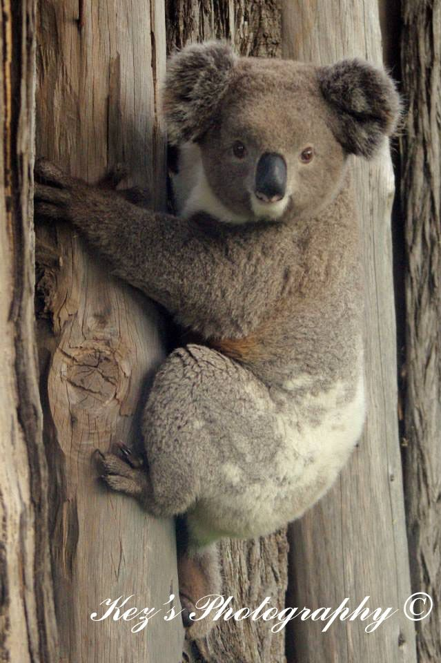 Koala out the back yard in NSW