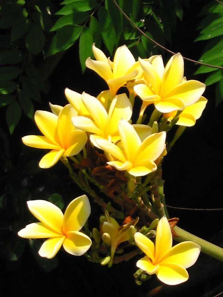 Bunga-Kamboja