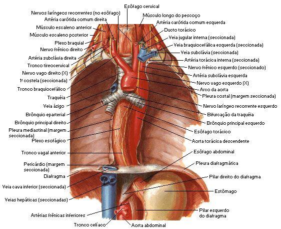 Resultado de imagem para esofago