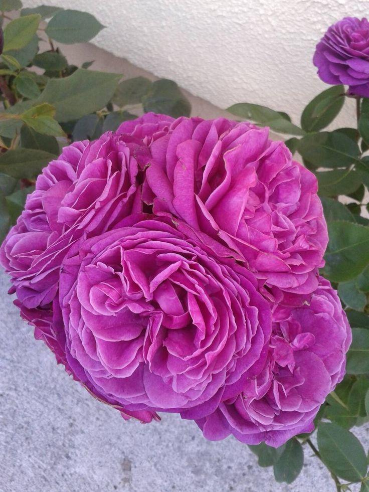 Old Port Shrub Rose
