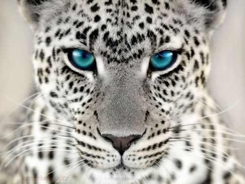 White cheetah with blue eyes Colorfully   white-out ... - photo#36