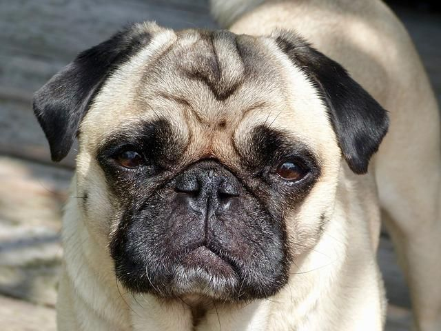 Pug Paint By Numbers Easiest Dogs To Train Pugs Dog Training